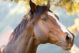 purebred racing horse