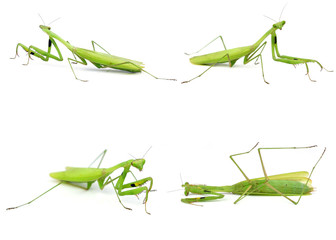 Green mantis isolated on a white background