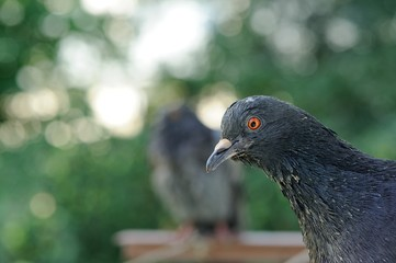 Grey Rock Pigeon Close-Up