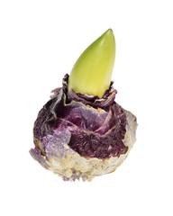 Hyacinth bulb isolated on white
