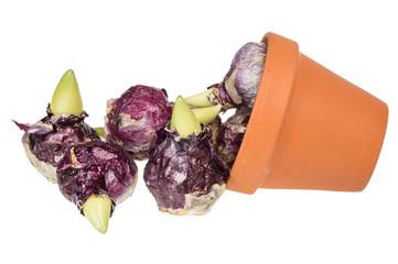 Hyacinth bulbs in clay pot isolated