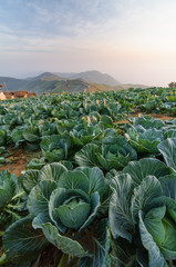 Cabbage field in the morning.