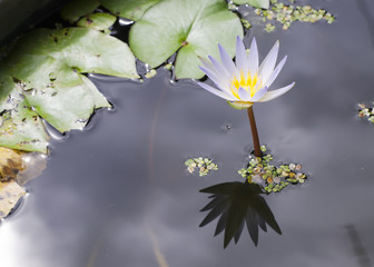 Close up of Lotus blooming in pond