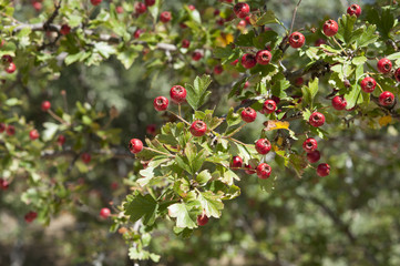 Common hawthorn, Crataegus monogyna