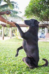 black dog Labrador outdoor training process