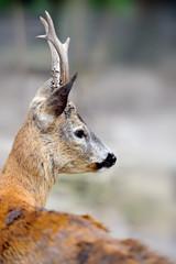 Close-up deer