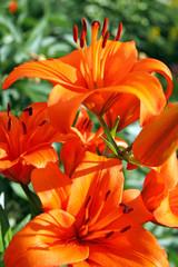 Bush lilies