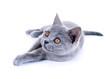 canvas print picture - Junge Katze – Karthäuser, British Kurzhaar