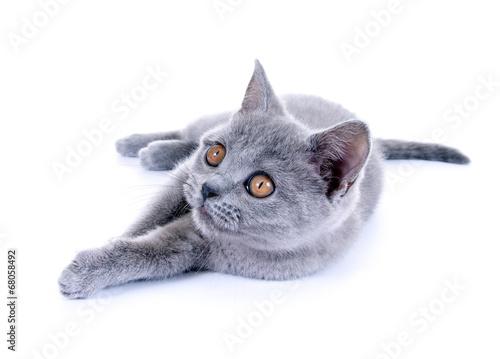 canvas print picture Junge Katze – Karthäuser, British Kurzhaar