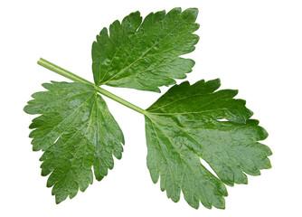 Celery leaf closeup