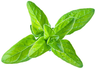 Green fresh marjoram leaves on a white.