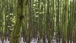 canvas print picture - Dünne Baumstämme Hintergrund 2
