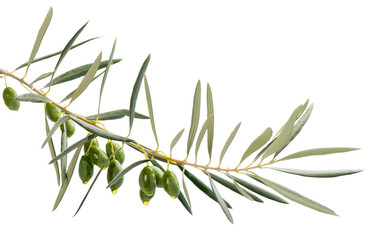 drops of oil from green olives on branch