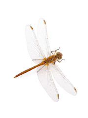 Dragonfly Southern Skimmer  isolated on white