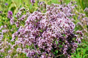 Bouquet of wild marjoram