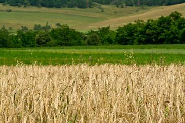 Cornfield with green fields