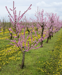 Blooming peach orchard with ddandelions