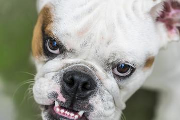 Sguardo di un British Bulldog