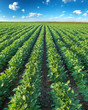 Soybean Rows on Field - 68067466