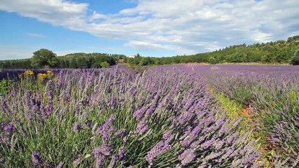 lavender flowers on the field, Provence, France