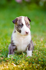 brindle english bull terrier puppy outdoors