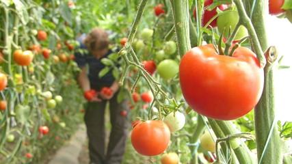 Farmer picking tomato in the greenhouse
