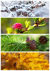 Collage. Larch tree. Four seasons. Сalendar