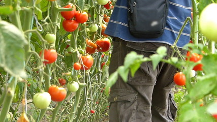Farmer picking tomato in the greenhouse