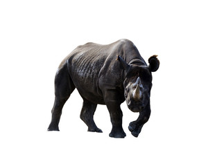 Isolated white rhino rhinoceros animal
