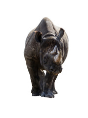 Isolated white rhino or rhinoceros animal