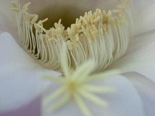 flower of cactus closeup
