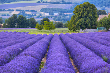 Lavander fields in Provence