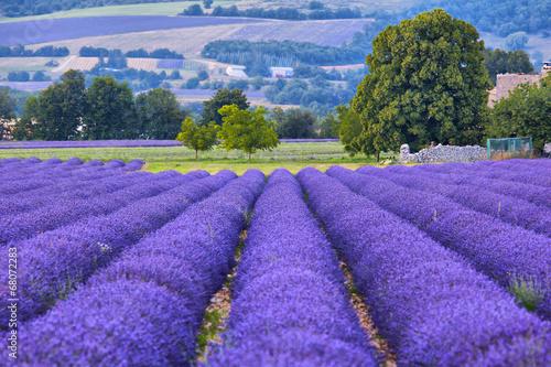 Lavander fields in Provence