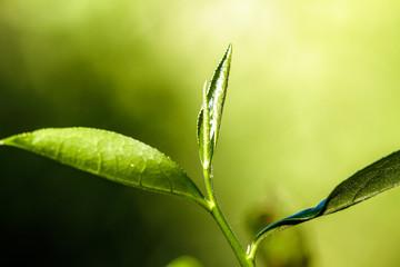 close up green tea leaves