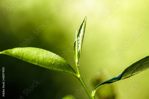 close up green tea leaves