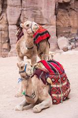 Camels resting in Petra Jordan
