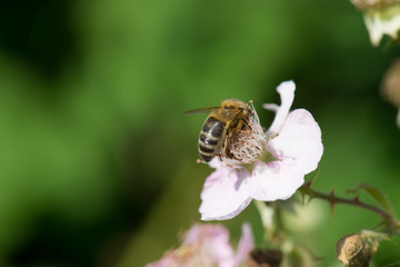 bee on flowers of blackberries
