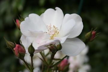 Roseraie - Rose