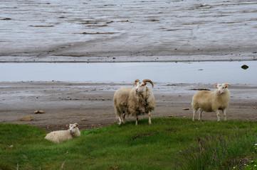 mouton à la plage