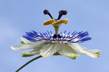 Passionsblume; Passiflora, caerulea;