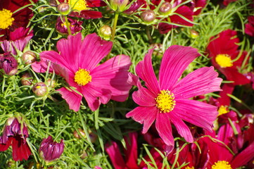 pink and red daisy flowers