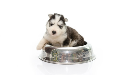 Puppy of siberian husky in bowl