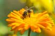 Obrazy na płótnie, fototapety, zdjęcia, fotoobrazy drukowane : Bee on Marigold