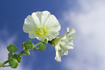 White Hollyhock against a blue sky with white clouds