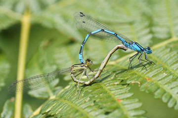 Common Blue Damselfly, Common Bluet, Enallagma cyathigerum
