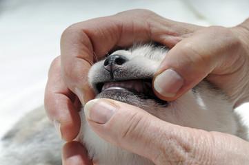 Husky Welpe zeigt die Zähne