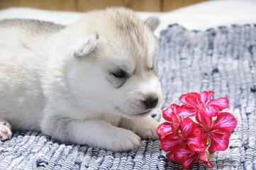 Husky Welpe sieht eine Blume