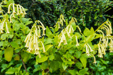 Soft yellow blooming Cape Fuchsia from close