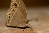 side view  of  brown butterfly (Mycalesis perseus) standing and poster