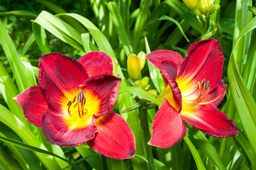 red hemerocallis flowers